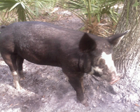 Pigs_berkshire_2